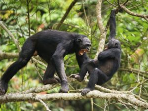 Współpraca, a nie konflikt, jest naszą decydującą cechą gatunkową – dla szympansów jest odwrotnie.